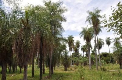 Cultivo de mbokaja como beneficio para el pequeño productor
