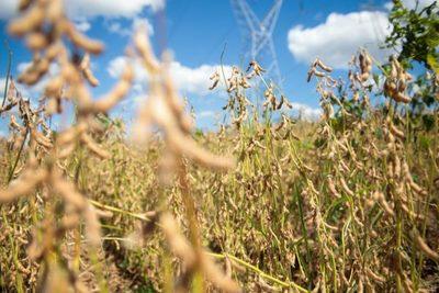 Industrialización de soja con fuerte caída