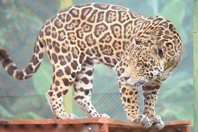 Yaguareté Chiqui regresó tras contribuir con éxito en la histórica reproducción de la especie en Argentina