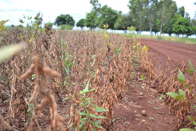 Unos US$ 240 millones de pérdidas por soja dañada en el Alto Paraná