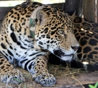 El jaguar 'Chiqui' retornó a Paraguay y dejó como herencia dos felinos