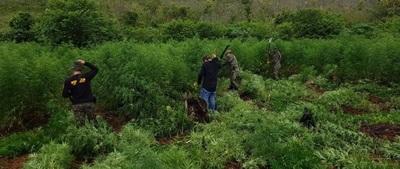 Liberan a sospechosos de plantación de marihuana