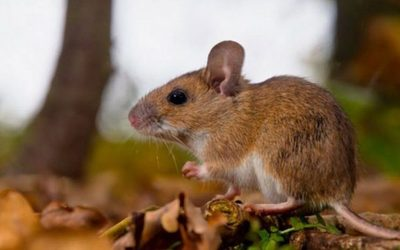 "Alertan sobre ""hantavirus"", virus que contagian ratones"