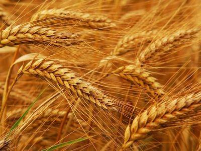 Calidad del trigo nacional se destaca