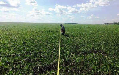 Senave interviene cultivo de soja sin franja de protección