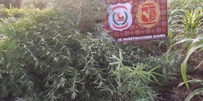 Destruyen media hectárea de Mariahuana en Mbocayaty