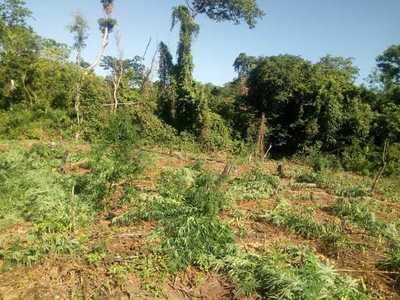 Destruyen cinco hectáreas de marihuana en una estancia en Azotey