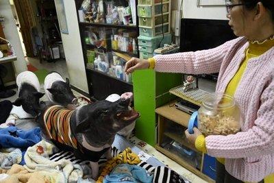 Una taiwanesa comparte piso con cuatro cerdos de compañía