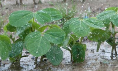 Nuevas pérdidas en soja argentina: 270 mil hectáreas perdidos por los excesos hídricos