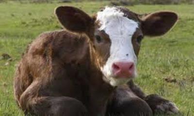 Uno de los objetivos de la ganadería paraguaya es aumentar el hato