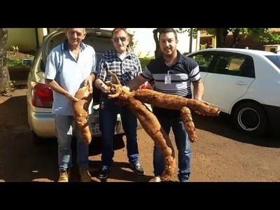 EN CAMBYRETÁ COSECHARON UNA ENORME MANDIOCA DE MÁS DE 20 KILOS