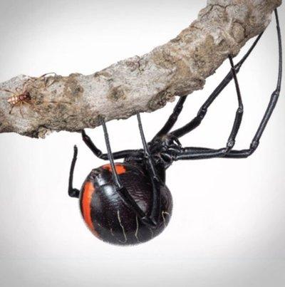Descubren a la mayor especie de viuda negra