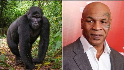 Otra locura de Mike Tyson: el día que intentó sobornar a un cuidador para boxear contra un gorila