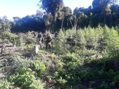 Destruyen siete hectáreas de marihuana en San Pedro del Paraná