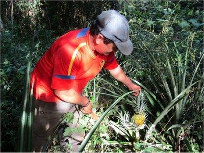 Cultiva piñas agroecológicas sin ayuda estatal en Misiones