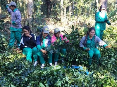 Indígenas de Canindeyú exportarán 15 toneladas de yerba mate