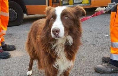 Perro pastor persiguió por la carretera al camión que llevaba a sus ovejas al matadero