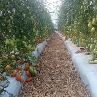 Productores mejoran sus cultivos de tomate en Curuguaty