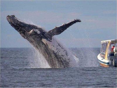 La ballena jorobada, una acróbata de los océanos, visita México