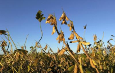 Bolivia da luz verde a la soja transgénica para biodiésel
