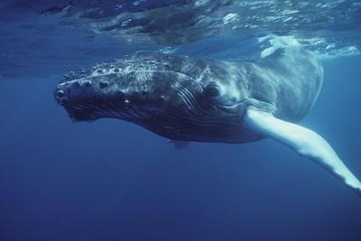 Las ballenas jorobadas, el animal más complejo del mundo acústicamente