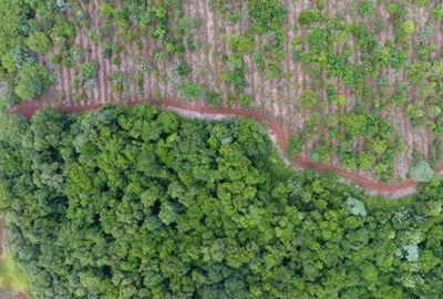 Restauran mas de 2300 hectáreas de bosque verde en Alto Paraná y Canindeyú