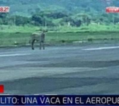 Vaca que recorrió pista de aterrizaje alertó a personal en aeropuerto