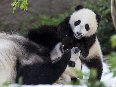 Dos osos pandas de zoológico de EEUU serán enviados a China
