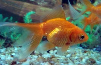 Recibe multa por tragar un pez dorado vivo