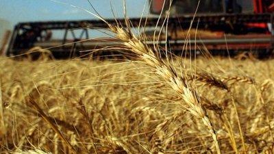 Destacan aumento de exportación del trigo