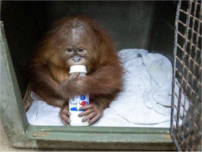 Hallan pequeño orangután en una maleta en el aeropuerto de Bali