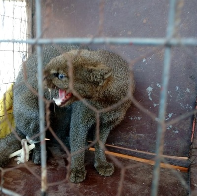 Un puma yaguarundí aparece en el patio de una casa en Concepción