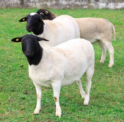Paraguay exporta ovinos Doper a Argentina