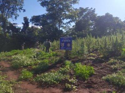 Destruyen 8,5 hectáreas de plantación de marihuana cerca de construcción de laboratorio