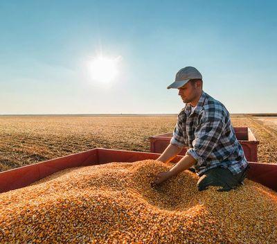 La participación del maíz local en Chile creció 17,5 puntos