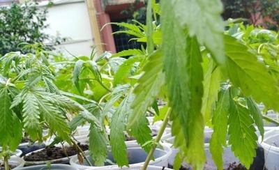 HOY / Mama Cultiva repartió plantines de cannabis y Senad pide prisión para organizadores