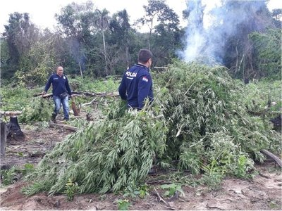 Destruyen 20 hectáreas de marihuana en Caaguazú