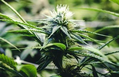 Este es el lugar exacto donde se originó la marihuana