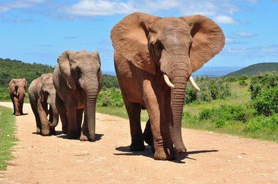 Botswana eliminó su prohibición de cazar elefantes
