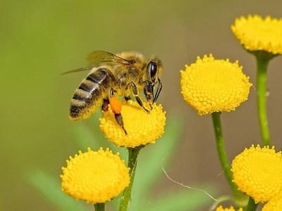 La importancia de las abejas para la humanidad