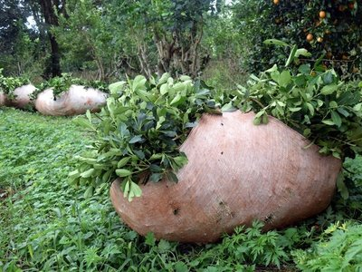 Mujeres paraguayas quieren llevar yerba mate al mercado internacional
