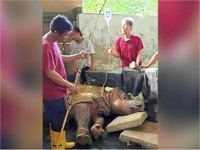 Murió el último rinoceronte macho de Sumatra en Malasia