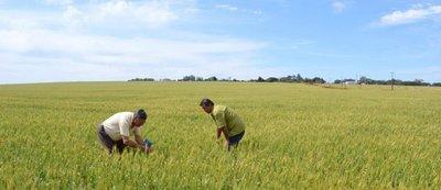 Productores estiman merma de hasta el 15% en la siembra de trigo