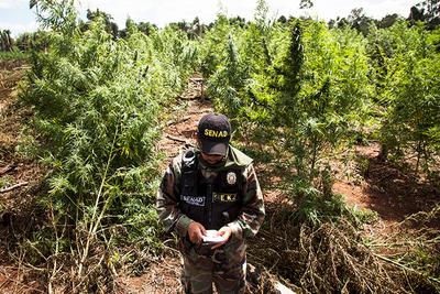Senad propone subsidio para que campesinos dejen de cultivar marihuana