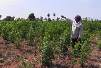 Productores de marihuana pueden ganar hasta G 20.000.000 por cosecha