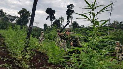 Destruyen 517 toneladas de marihuana causando un perjuicio económico a mafias