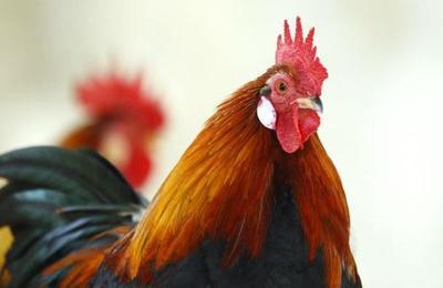 El caso del gallo que llevarán a juicio por cantar demasiado temprano