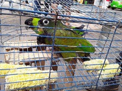 Rescatan aves silvestres y evitan su venta en el mercado de San Lorenzo