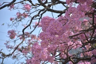 Un orgullo de Paraguay: 11 hermosas postales del lapacho rosado