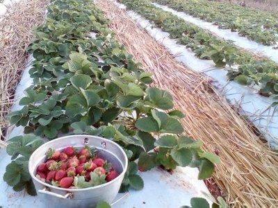 Comenzó la cosecha de frutilla en Nueva Alborada